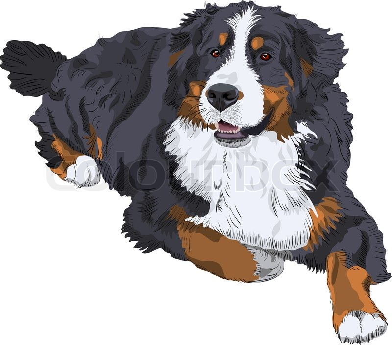 Color Sketch Of A Close Up Dog Breed Bernese Mountain Dog