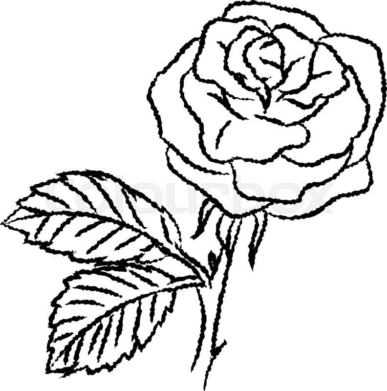 Hand drawn sketch of Rose isolated