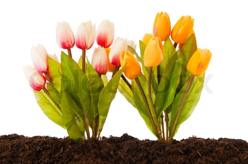 Colourful Tulip Flowers Growing In The Stock Photo
