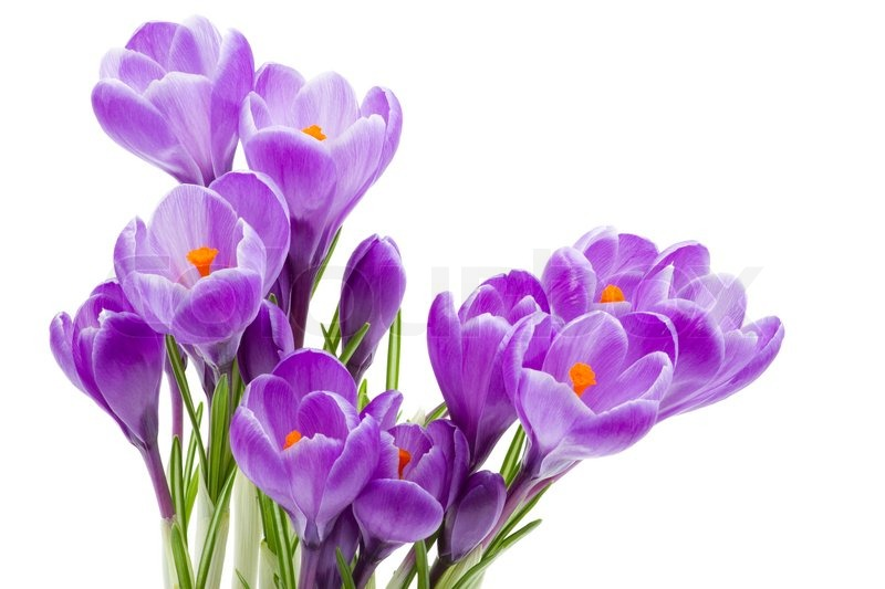 Spring flowers crocus isolated on white stock photo colourbox spring flowers crocus isolated on white stock photo mightylinksfo