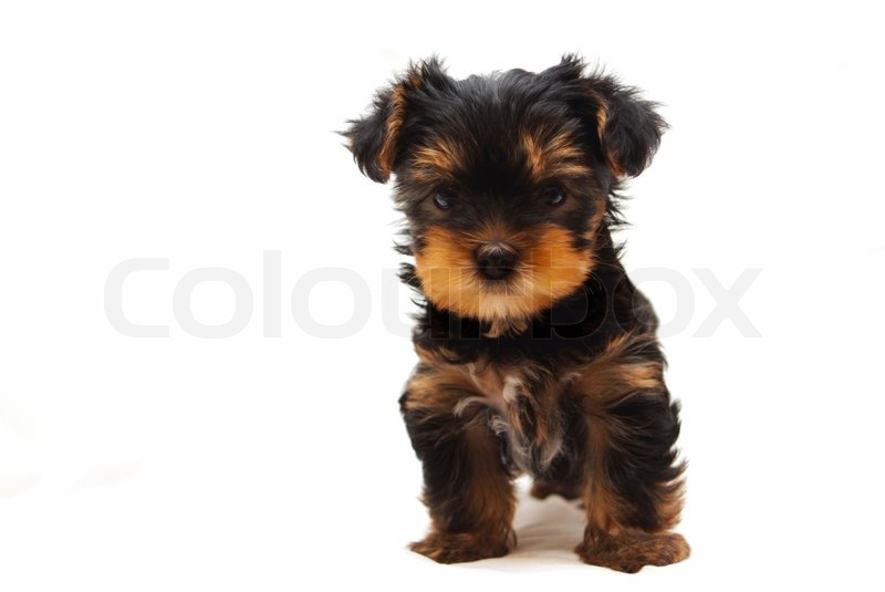Puppy of the Yorkshire Terrier on white background | Stock ...