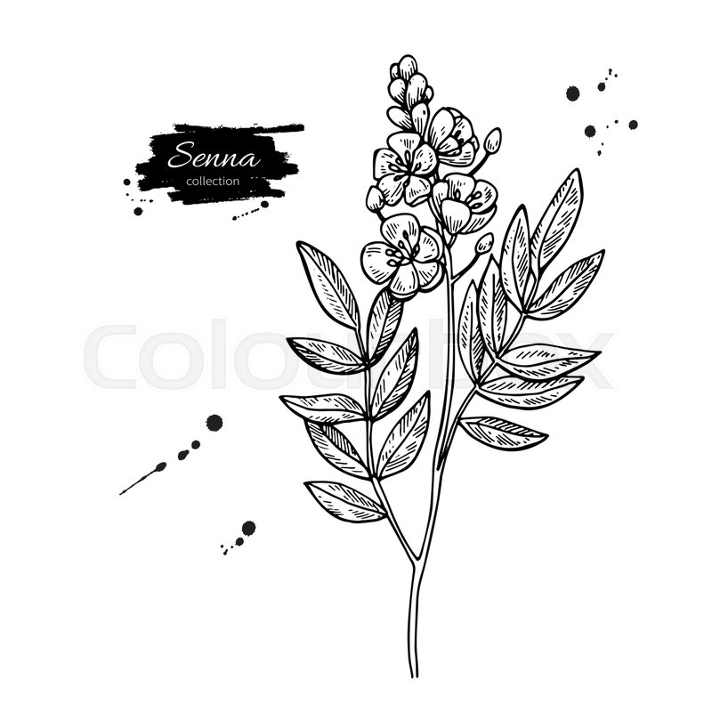 Senna Vector Drawing Isolated Medical Flower And Leaves Herbal Engraved Style Illustration Detailed Botanical Sketch For Tea Organic Cosmetic Medicine