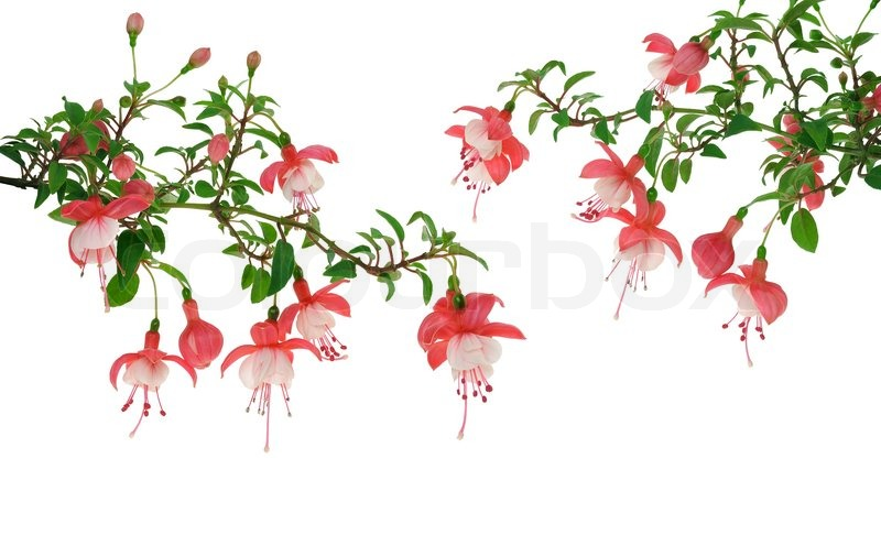 fuchsia flowers over white background stock photo