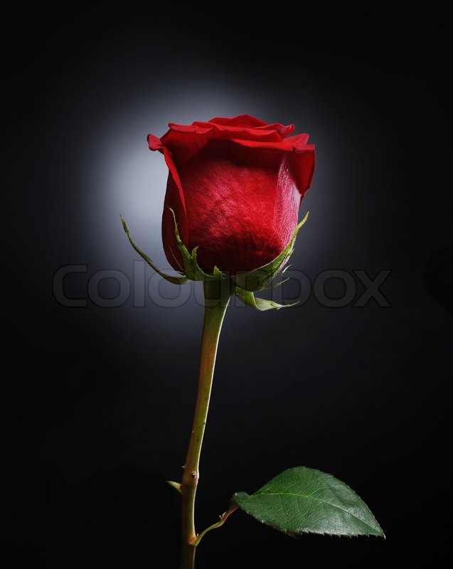 Beautiful Red Rose With Dew Drops On A Stock Image Colourbox