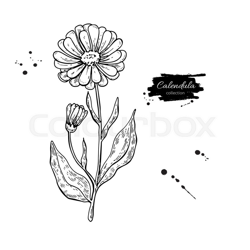 Marigold Flower Line Drawing : Calendula vector drawing isolated medical flower and