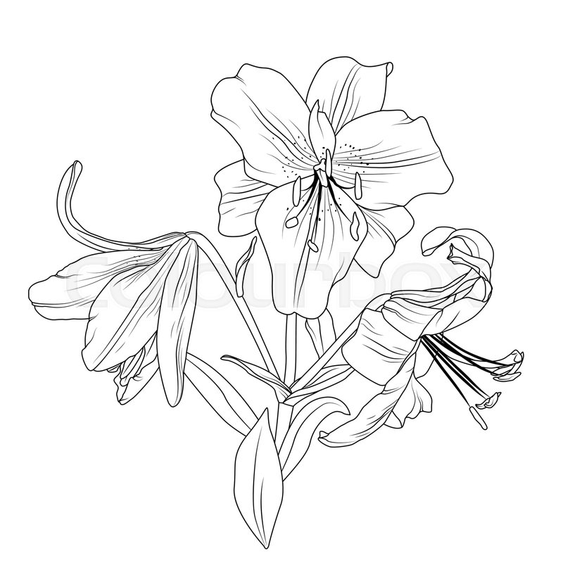 Beautiful Blooming Lily Spring Flowers Bouquet Composition Detailed Outline Sketch Drawing Isolated On White Background Tattoo Silhouette Object Element