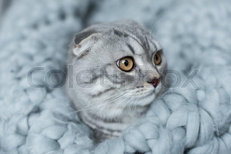 Grey fluffy scottish fold cat lying on wool blanket in bedroom, stock photo