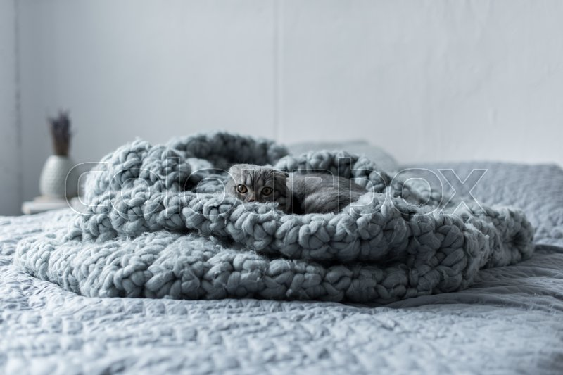 Grey fluffy scottish fold cat hiding in wool blanket in bedroom, stock photo
