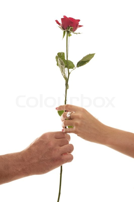 Two hands hold a single red rose a symbol of love affection union