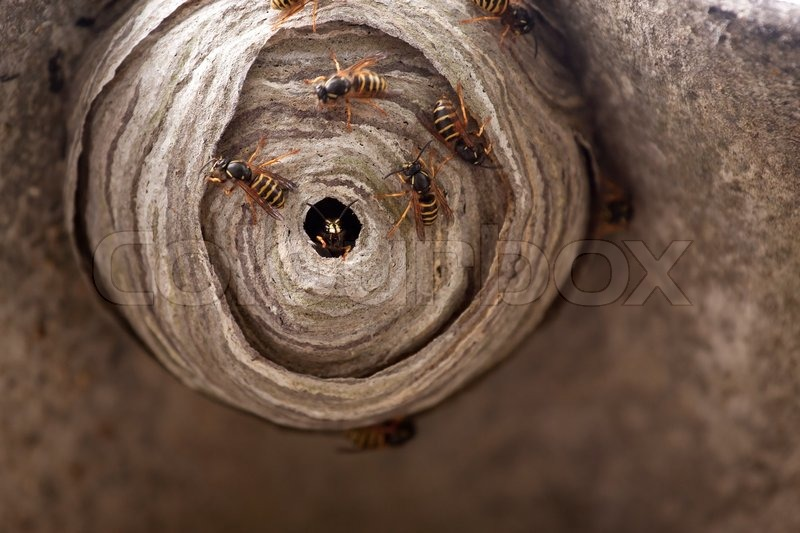 a macro of a small wasp nest stock photo colourbox. Black Bedroom Furniture Sets. Home Design Ideas