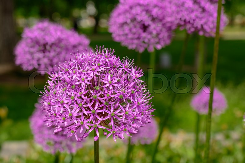 Purple allium flower, allium giganteum. Flower decorative bow. Flower in shape of the ball, stock photo