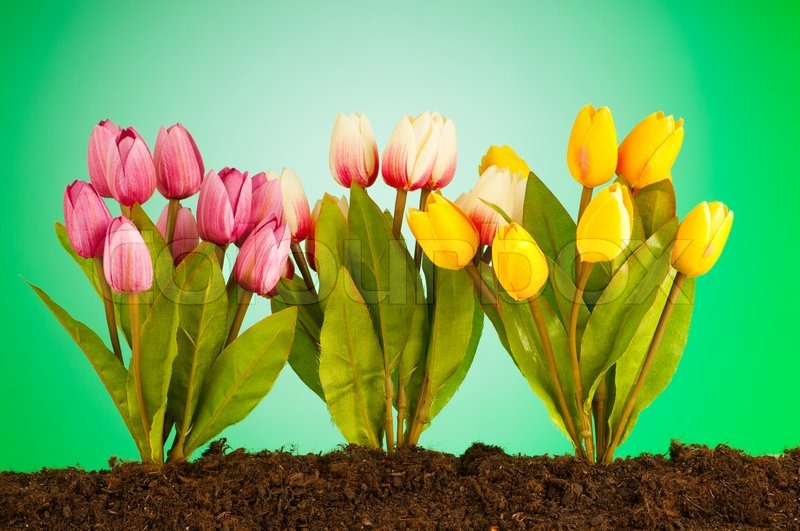 Colourful Tulip Flowers Growing In The Stock Image Colourbox