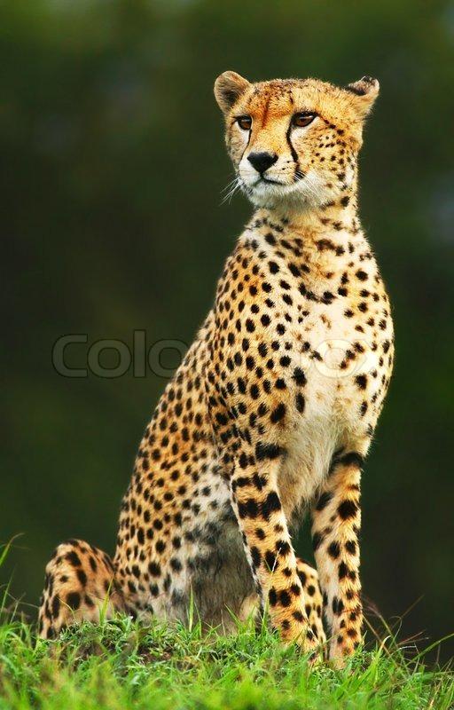 Wilde afrikanische Gepard   Stockfoto   Colourbox