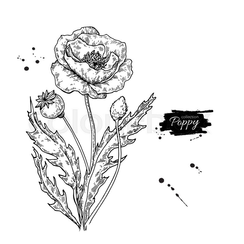 Poppy flower vector drawing set isolated wild plant and leaves in poppy flower vector drawing set isolated wild plant and leaves in bouquet herbal engraved style illustration detailed botanical sketch vector mightylinksfo Choice Image
