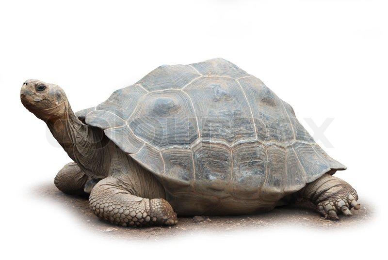 turtle white background - photo #11