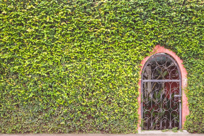 Abstract pattern green wall of ivy or wall plant and metal door, stock photo