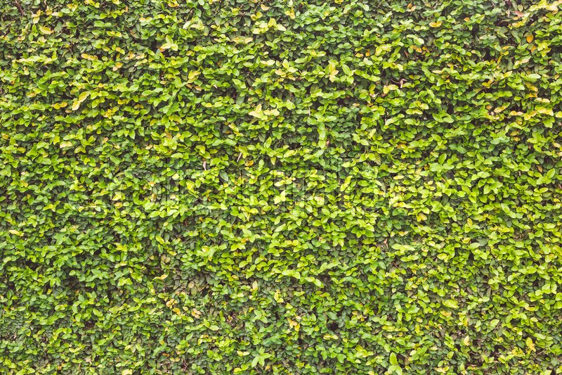 Abstract pattern green wall of ivy or wall plant for background, stock photo
