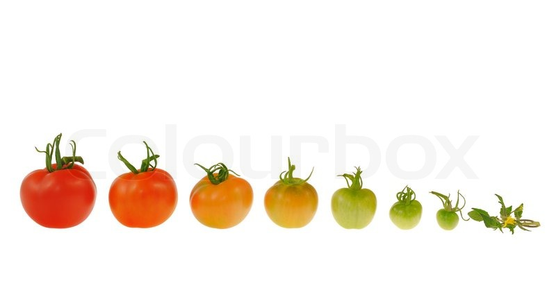 Evolution Of Red Tomato Isolated On White Background Maturing