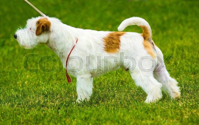 Jack Russell Terrier. Jack Russell Terrier playing outside smiles, stock photo