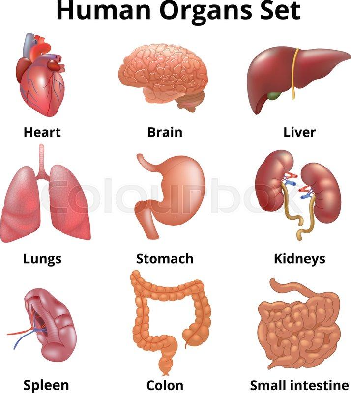 Realistic Human Organs Set Set Of Human Anatomy Parts Liver Heart
