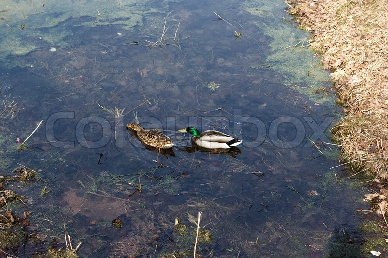 Stock image of 'Two wild ducks in the pond'