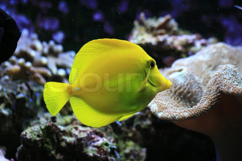 Nice small yellow fish in natural environment stock for Small fish pictures