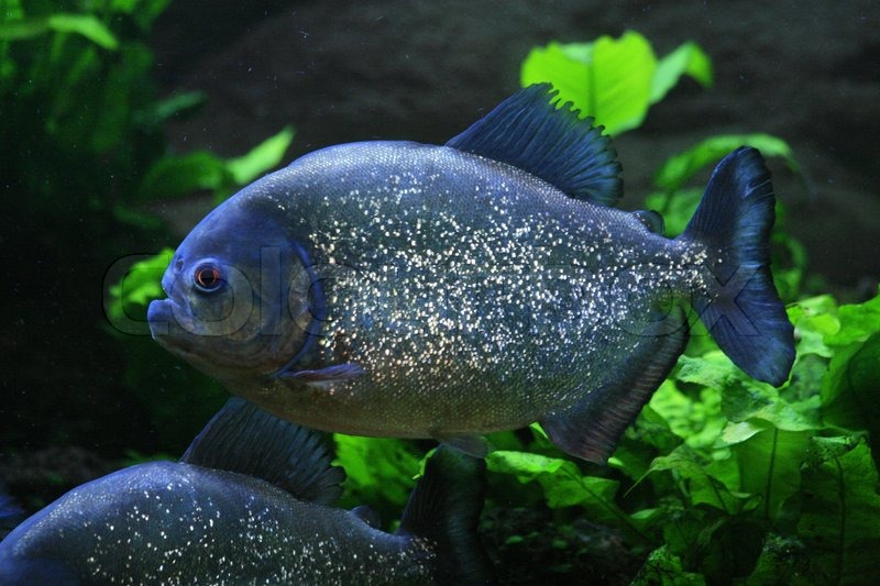 Nice Big Piranha Fish In Natural Environment Stock Photo Colourbox