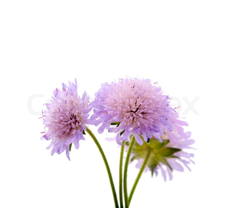 http://www.colourbox.com/preview/2760175-139301-purple-flowers-on-a-white-background.jpg
