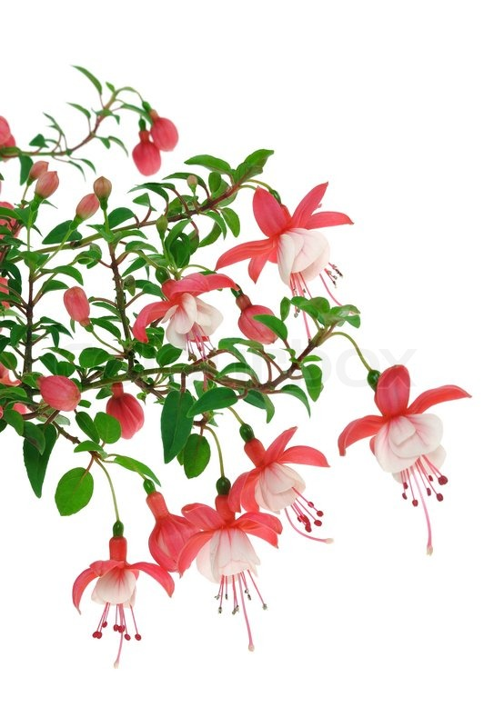 fuchsia flowers over white background stock photo
