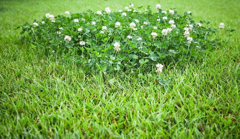 White clover flowers grow on summer lawn background photo stock white clover flowers grow on summer lawn background photo stock photo colourbox mightylinksfo