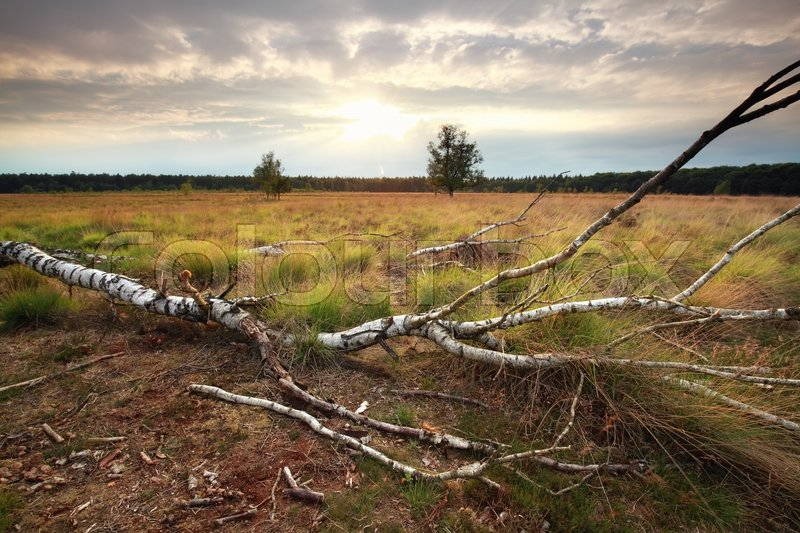 Stock image of 'sunset over fallen birch tree'