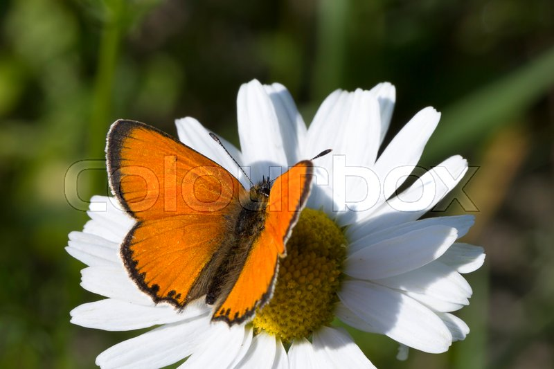 Stock image of 'Scarce Copper butterfly on Oxeye Daisy close up.'
