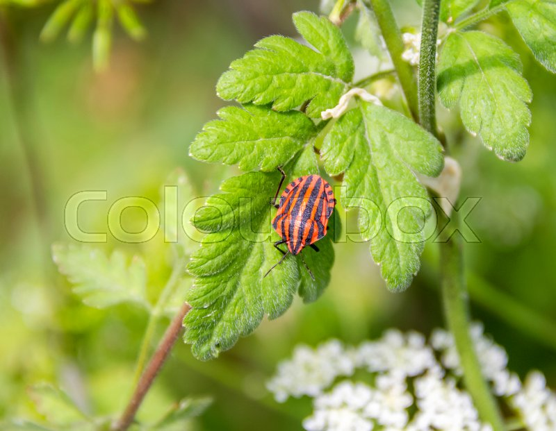Stock image of 'Italian striped bugs in natural green ambiance at spring time'