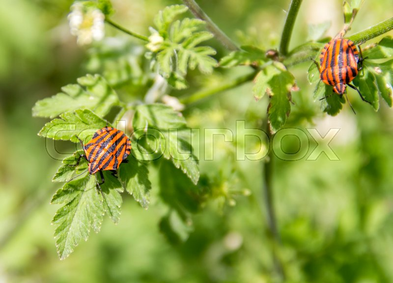 Stock image of 'two Italian striped bugs in natural green ambiance at spring time'
