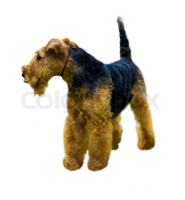 Stock image of 'Airedale Terrier dog.  Airedale Terrier isolated on white background'