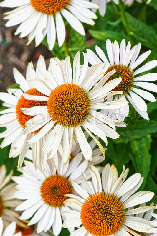 Stock image of 'Summer flowers, Coneflower White field'