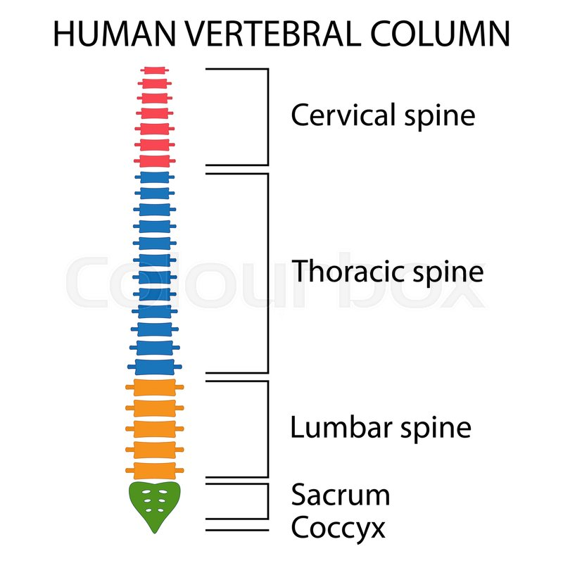 Vertebral Column Spine Structure Of Human Body View With All