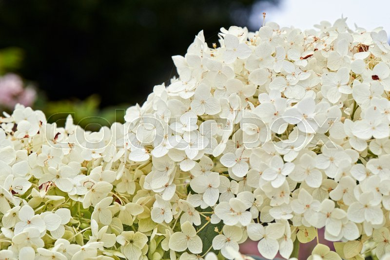 Stock image of 'Summer flowers, Detail of a Hydrangea Hortensia'