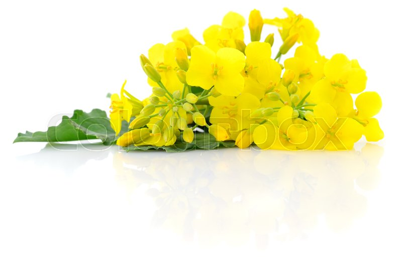 Stock image of 'Mustard Flower blossom, Canola or Oilseed Rapeseed, close up , isolated on white background.'