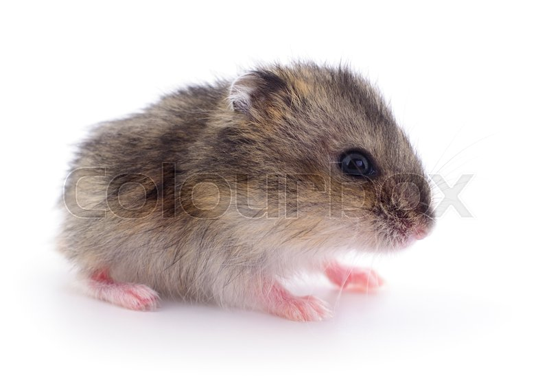 Stock image of 'Small domestic hamster isolated on white background.'