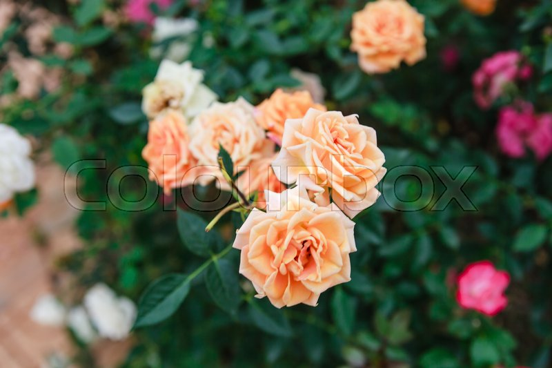 Stock image of 'DALAT, VIETNAM - February 17, 2017: Color roses in flower Da Lat city in Vietnam'