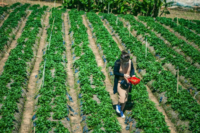 Editorial image of 'DALAT, VIETNAM - February 17, 2017. Vietnamese farmer picking strawberries in Da Lat, Vietnam'