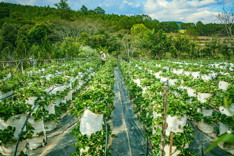 Stock image of 'DALAT, VIETNAM - February 17, 2017: Agriculture farm of strawberry field.'