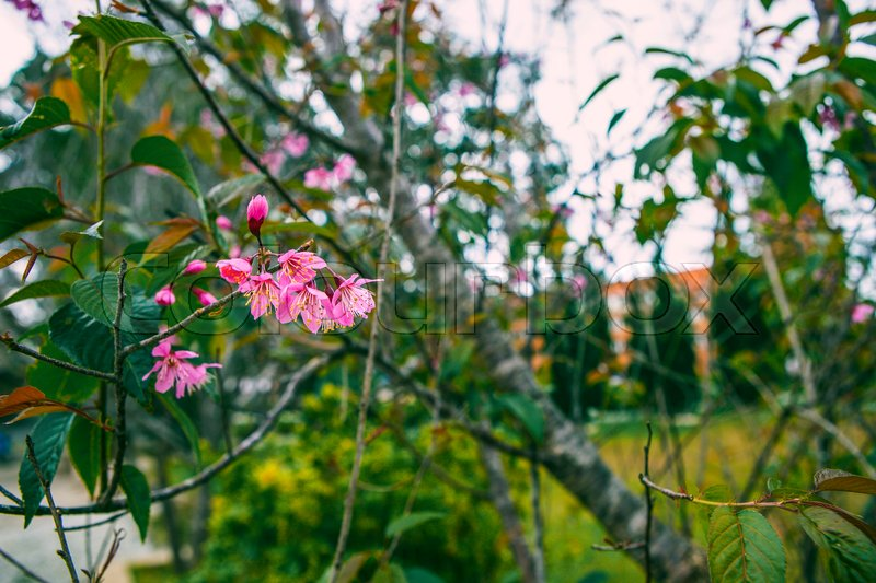 Stock image of 'DALAT, VIETNAM - February 17, 2017: Spring flower, beautiful nature with sakura bloom in vibrant pink, cherry blossom is special of Dalat, Vietnam'