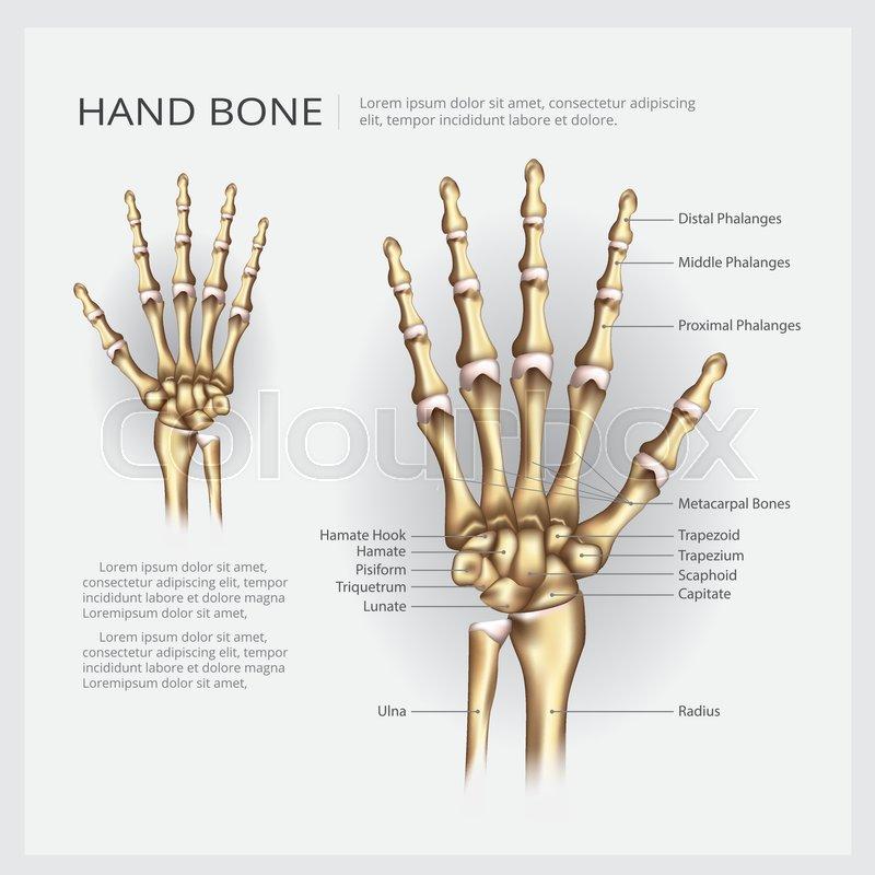 Anatomie, mensch, skelett | Vektorgrafik | Colourbox
