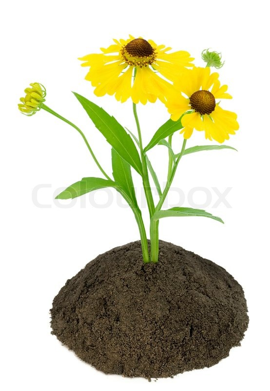 Lonely yellow flower grow on soil bed selective focus stock photo lonely yellow flower grow on soil bed selective focus stock photo colourbox mightylinksfo