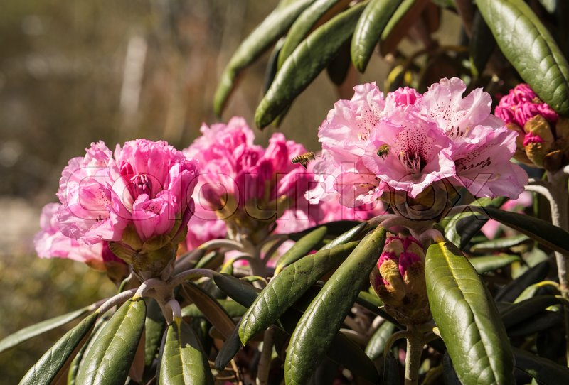 Stock image of 'Rhododendron aganniphum flowers in full bloom in spring with beautiful decorative bright pink flowers'