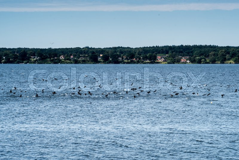 Stock image of 'The birds are fishing in Esrum sø'