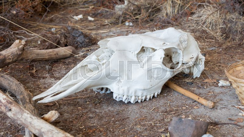 Stock image of 'Bright white cow skull laying on the ground'