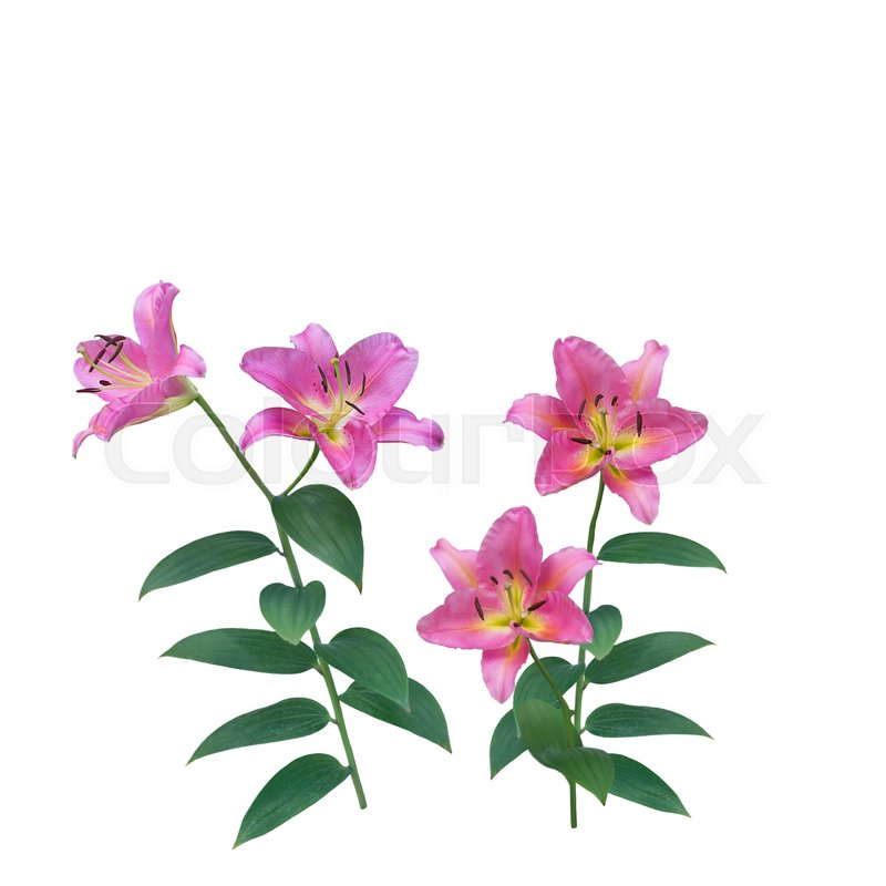 Stock image of 'Pink Lily Flowers blossom isolated on white background'